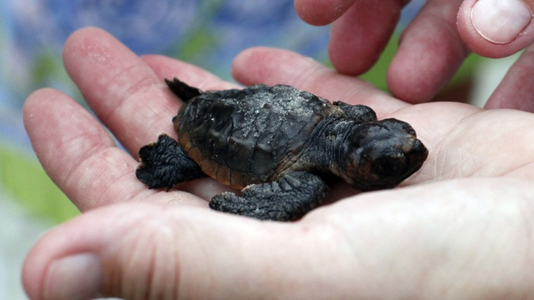 A volunteer looks at an injured Loggerhead sea turtle hatchling after an inventory on Litchfield Beach, South Carolina August 17, 2012. (Randall Hill/Reuters)