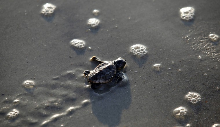 A Loggerhead turtle hatchling makes its way to the surf at Myrtle Beach State Park in Myrtle Beach, South Carolina August 4, 2012. Volunteers take nest inventories three days after the nests hatch and the empty egg shells are categorized and the information is sent to researchers. (Randall Hill/Reuters)