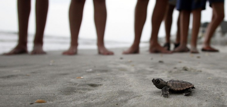 A loggerhead turtle hatchling makes it's way to the surf, as tourists and volunteers look on, at South Litchfield Beach along the coast of South Carolina August 17, 2012. South Carolina United Turtle Enthusiasts (SCUTE), is a group of volunteers dedicated to sea turtle conservation in Georgetown and Horry counties. Turtle volunteers walk the area's beaches along South Carolina's coast daily during the nesting season, looking for signs of turtle activity and keeping tabs on the progress of the endangered species of turtles that lay their eggs along the coast. (Randall Hill/Reuters)