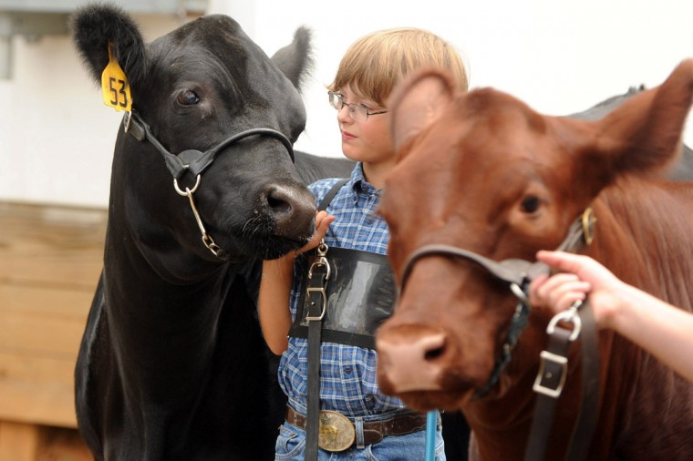 Day 3: Colby Hough, 10, of Mt. Airy gets ready to show a champion heifer from his family's Woodcamp Farm.