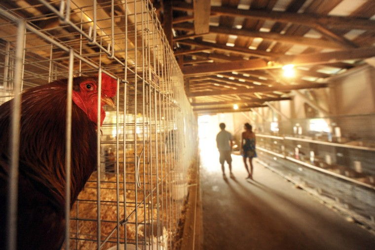 Day 3: A chicken looks out from its cage as people walk through the poultry barn. (Brian Krista/Patuxent Homestead)