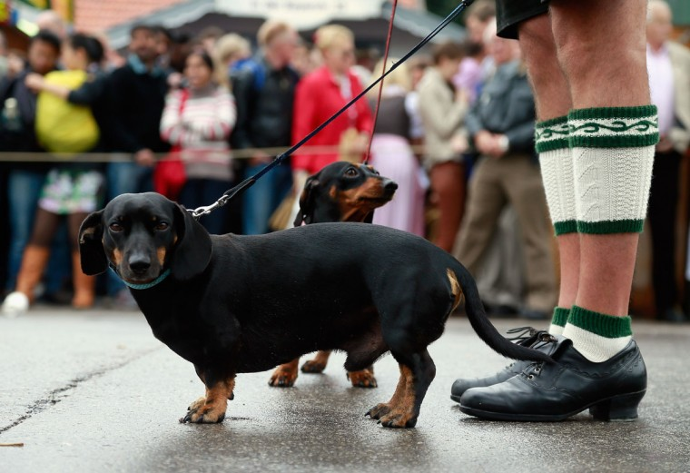 A man wearing traditional Bavarian clothes and his dogs wait for the opening parade during the first day of Oktoberfest in Munich, Germany. (Johannes Simon/Getty Images)