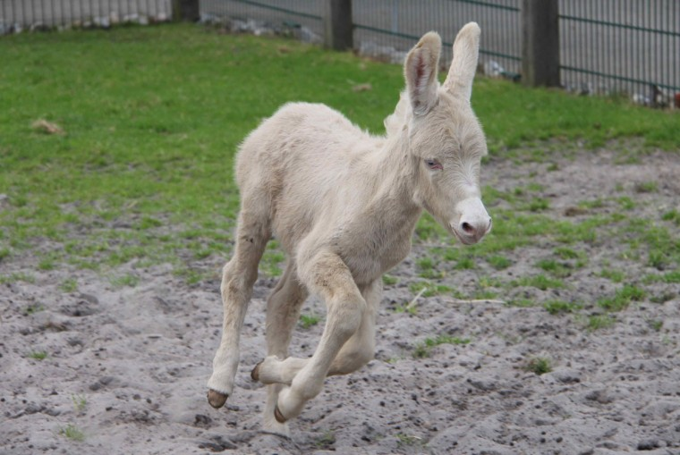A white donkey foal runs around in his enclosure at the West Coast park in St. Peter-Ording, northern Germany on September 09, 2012. The young donkey was born on September 02, 2012 and named Alexis. White donkeys are a rare species. (Wolfgang Runge/AFP/Getty Images)