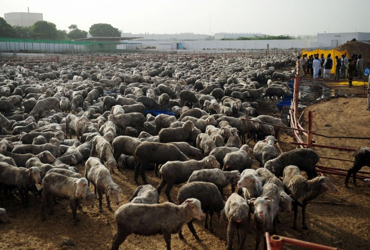Pakistani laborers take care of infected sheep at a farm in Bin Qaisim town, some 50 kilometres southwest of Karachi on September 17, 2012. Pakistan plans to cull thousands of Australian sheep after they were found to be infected with harmful bacteria, the city's top administration official said. (Asif Hassan/AFP/Getty Images)