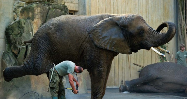 """Animal keeper Rainer Kraut spray-washes elephant """"Drumbo"""" on at the zoo in Dresden, eastern Germany. More than 2,000 animals of circa 300 species live at the zoo, that counts around 700,000 visitors yearly. (Arno Burgi/Getty Images)"""