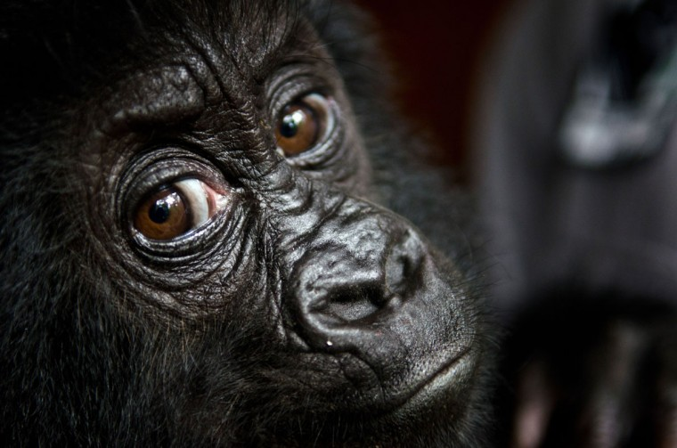 A photo taken on September 19, 2012 and released on September 24 by the Virunga National Park shows baby gorilla Isangi, a rescued poached 9-month-old Grauer's gorilla, that was moved to Virunga National Park headquarters at Rumangabo to be quarantined for a month. The baby will stay for quarantine and then move to GRACE for orphan Grauer's gorillas. (LuAnne Cadd/AFP/Getty Images)