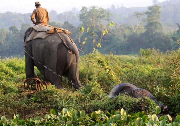 An Indian Forestry Department official, riding an elephant, pulls away the carcass of a rhino killed by poachers at Bagori range in Kaziranga National Park, some 250 kms east of Guwahati. A rare rhino, whose horn was hacked off by poachers, died after struggling for its life for over a day. The gravely injured rhino was found in the deluged Kaziranga National Park on September 27, bleeding from gunshot injuries and a huge wound on its snout after poachers cut off its horn, nose and part of its ear. (Biju Boro/STRDEL/AFP/Getty Images)