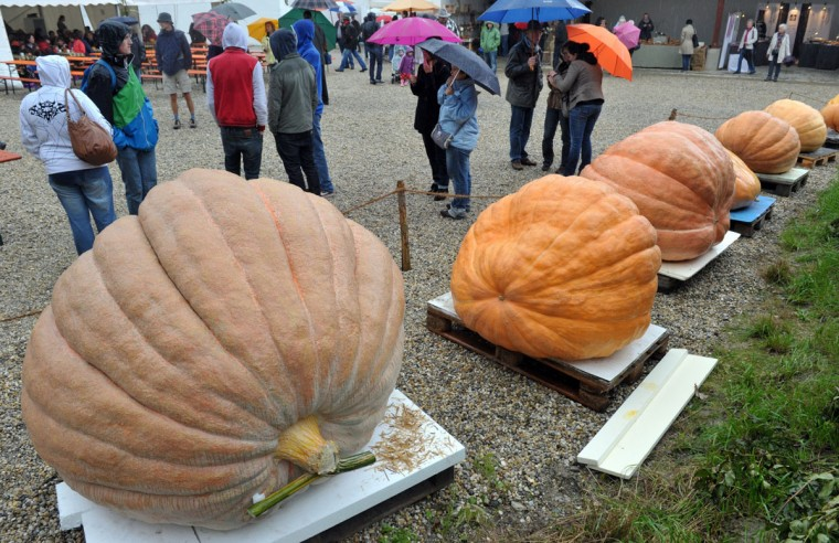 Atlantic Giant pumpkins (Curcurbita maxima) wait to be weighed during the Bavarian pumpkin championship in Schwabenhausen, Germany. The award comes with a prize money of 600 euros. (Peter Kneffel/AFP/Getty Images)