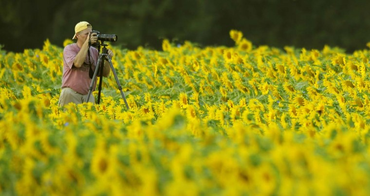 "Owen Dawson of Parkville takes pictures in the sunflowers in the fields located in Jarrettsville, MD. Dawson, an amateur photographer, called the sight ""awesome."" (Lloyd Fox/Baltimore Sun)"