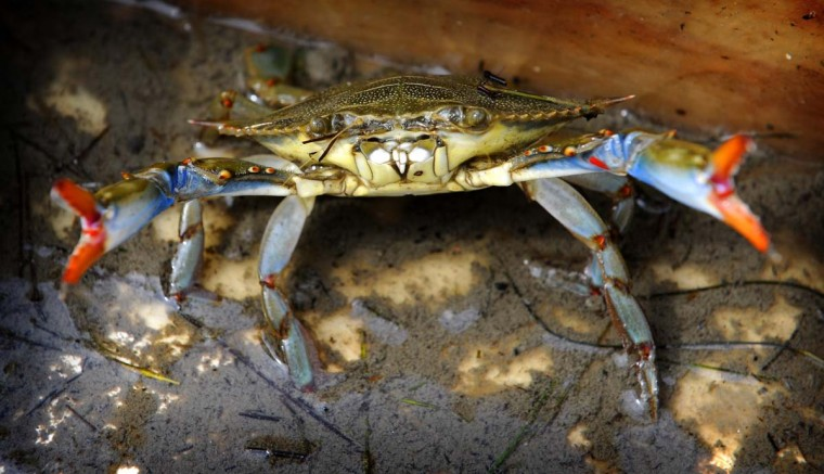 A Maryland blue crab takes a defensive posture after being pulled onto the fishing boat Miss Anita. The boat belongs to Mark Kitching, who has been a Smith Island crabber for about 35 years. (Barbara Haddock Taylor/Baltimore Sun)