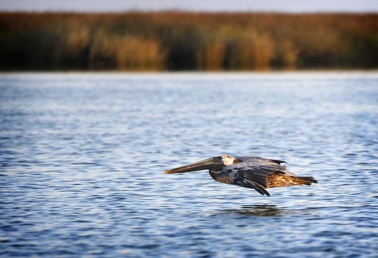A brown pelican flies along the water in the early morning along the Chesapeake Bay. Smith Island crabber Mark Kitching was out on his fishing boat, Miss Anita, when this pelican flew by. (Barbara Haddock Taylor/Baltimore Sun)