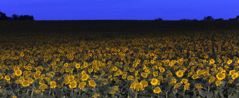 The sunflowers are illuminated by store lights from across Jarrettsville Pike in the early morning hours prior to sunrise. Two hundred acres of the giant flowers were planted by Clear Meadow Farm of White Hall, MD. (Lloyd Fox/Baltimore Sun)