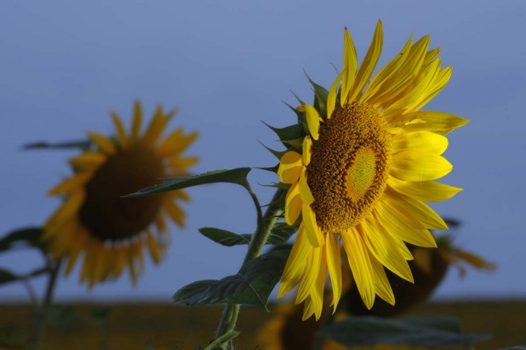 According to the National Sunflower Association, sunflowers were a common crop among American Indian tribes throughout North America. (Lloyd Fox/Baltimore Sun)