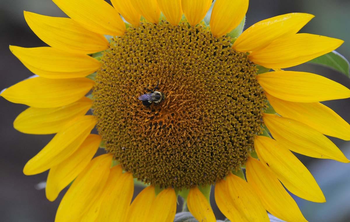 1200 x 762 jpeg 144kBSunflower