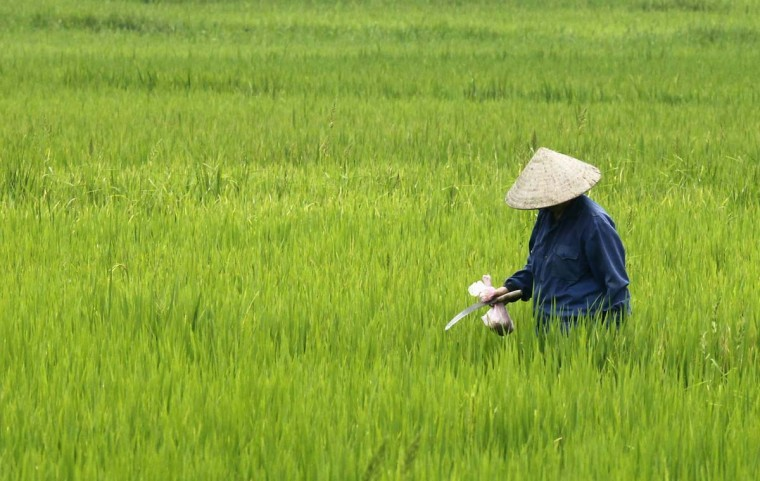 A farmer visits her rice paddy field outside Hanoi . Rice prices in Vietnam rose because of loading demand amid low domestic stocks, traders said. (Kham/Reuters photo)