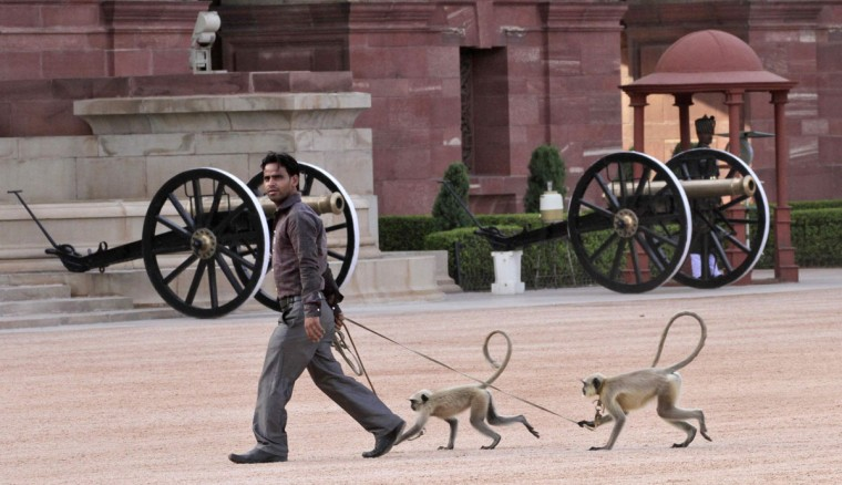 Langur monkeys follow their handler at the forecourt of India's presidential palace Rashtrapati Bhavan in New Delhi. Langur monkeys are used in parts of New Delhi to scare away other monkeys which create a menace around government buildings. (B Mathur/Reuters)
