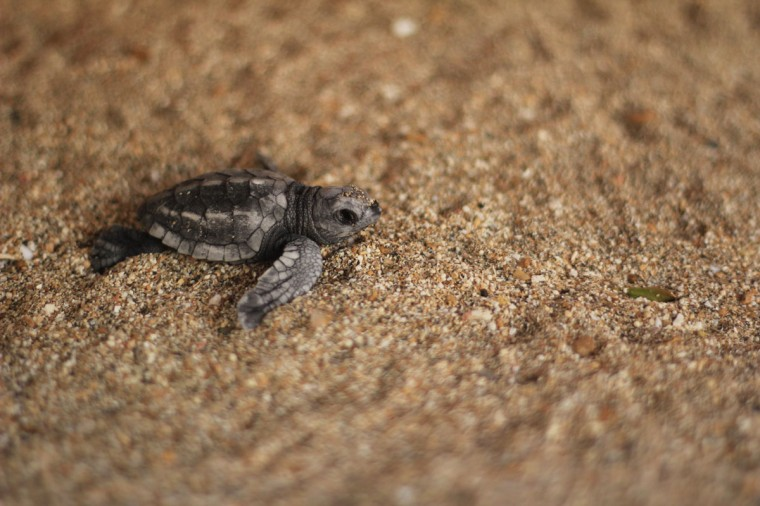 An olive ridley turtle hatchling crawls in the sand after emerging from its shell at a hatchery managed by the Kuta Beach Sea Turtle Conservation at Kuta Beach, Bali September 10, 2012. According to the conservation, more than 20,000 eggs were safely relocated to the hatchery since 2002, 80 percent of which have been successfully hatched and released to the ocean. (Desmond Ang/Reuters)