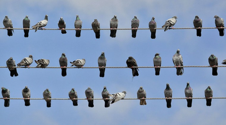 Pigeons rest on electric wires in Srinagar. (Fayaz Kabli/Reuters)