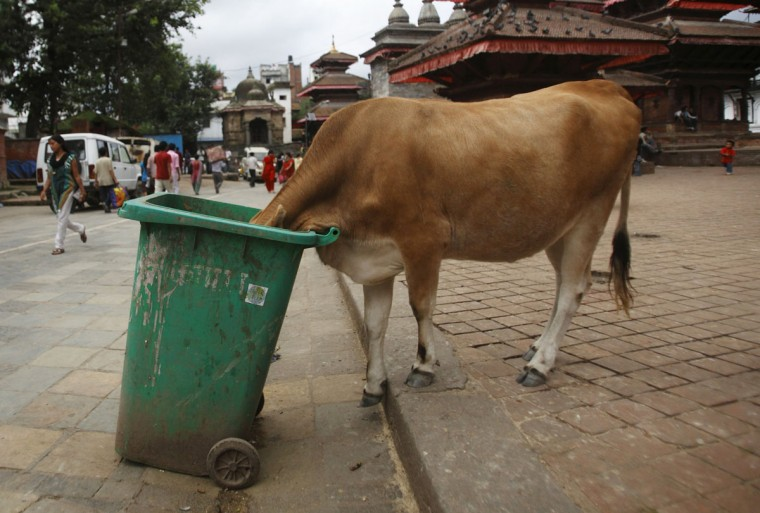 A cow feeds itself from a garbage container at Bashantapur Durbar Square in Kathmandu, September 12, 2012. (Navesh Chitrakar/Reuters photo)