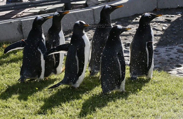 An employee sprays water on long-tailed Gentoo Penguins during their first walk in open air at the Royev Ruchey zoo in a suburb of Russia's Siberian city of Krasnoyarsk. Six Gentoo Penguins were transferred from Bulgaria to the Krasnoyarsk zoo this year, making it the only zoo in Russia to house Gentoo Penguins. (Ilya Naymushin/Reuters)