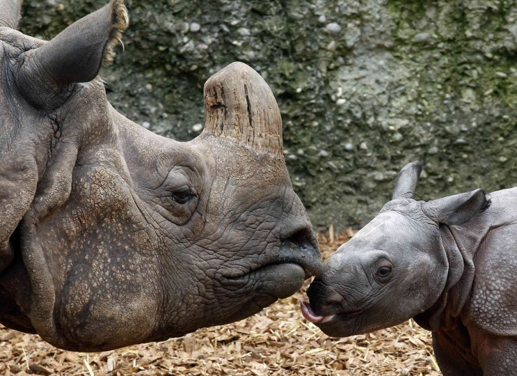 Nine-day old male Indian rhinoceros Jari stands beside his 18-year old mother Quetta (L) in an outdoor enclosure at the zoo in Basel. Jari was born last Monday weighing around 60 kilos (132.3 pounds). (Arnd Wiegmann/Reuters)