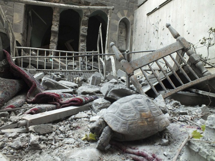 An abandoned pet tortoise walks on the debris of a damaged house in the neighbourhood of old Homs September 9, 2012. (Yazen Homsy/Reuters)