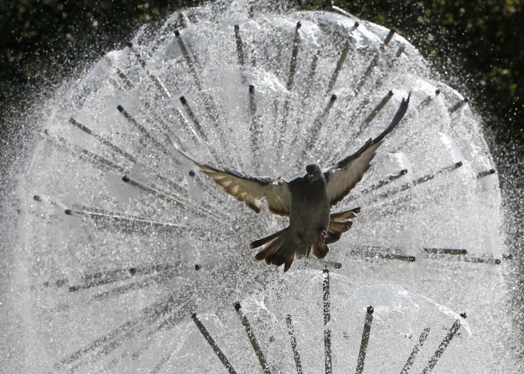A pigeon flies in front a fountain during a sunny day in central Donetsk September 19, 2012. (Gleb Garanich/Reuters photo)