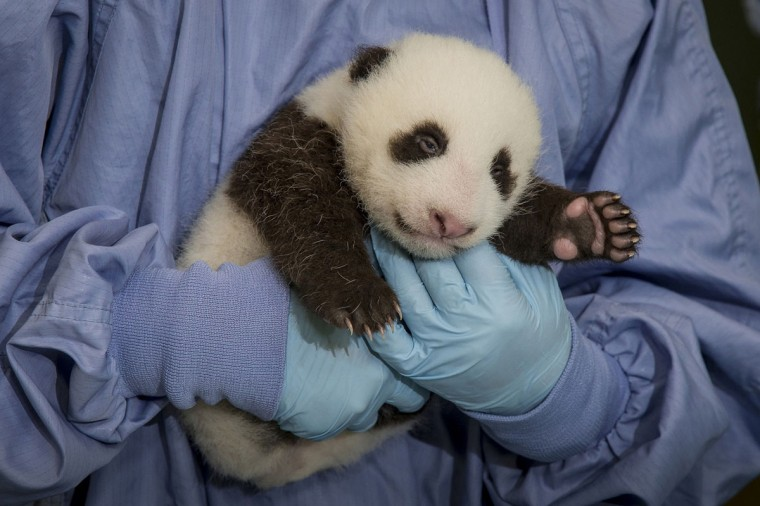 A 45-day old male panda cub is pictured during an examination at the San Diego Zoo in San Diego, California, September 12, 2012.During the exam, animal care staff could see the cub's eyes beginning to open. It will take about another 20 days for the eyes to be fully open. (San Diego Zoo/Reuters photo)