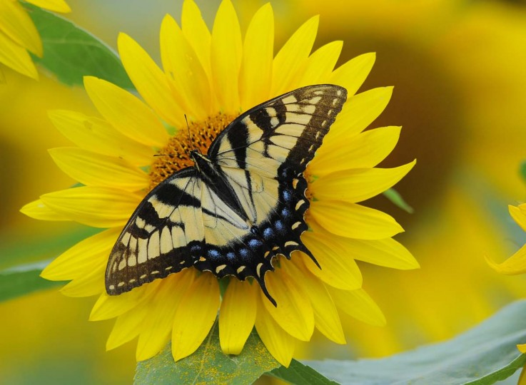 A Tiger Swallowtail butterfly lands on one of the sunflowers. While the domesticated hybrid sunflower such as the one picture here only has one head per plant, it's wild cousins can have many heads. (Lloyd Fox/Baltimore Sun)