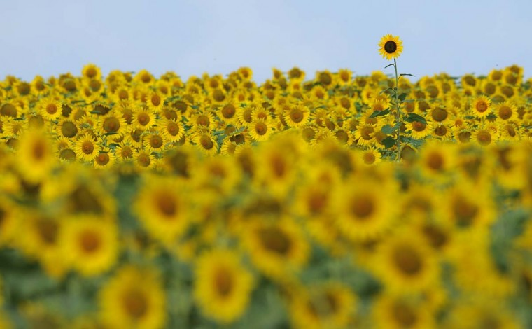 Sunflowers, in their wild form, are original to North America, but according to the National Sunflower Association, the commercialization of the plant first took place in Russia before returning to America. (Lloyd Fox/Baltimore Sun)