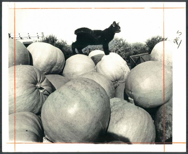 A black cat, poised on a pile of pumpkins at Sewell's orchard near Columbia, heralds the arrival of Halloween. Oct. 30, 1971. (Joseph A. DiPaola/Baltimore Sun)