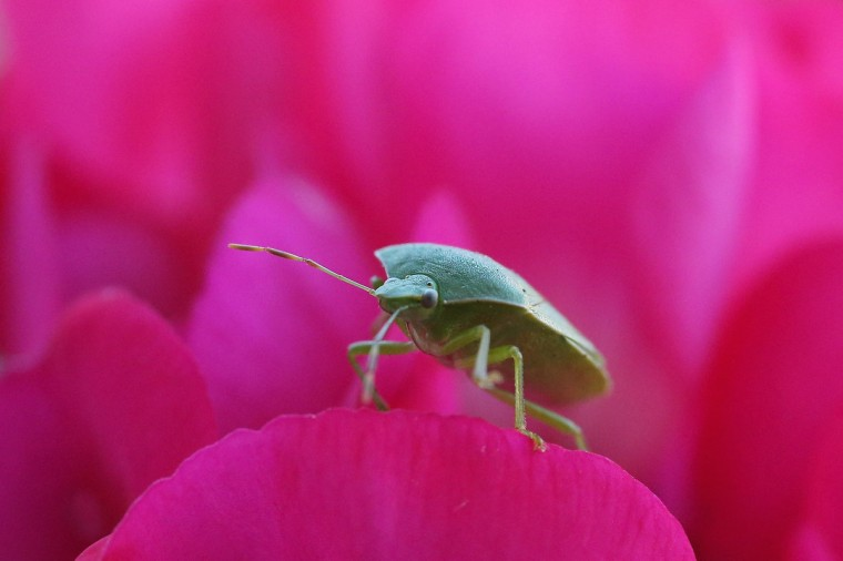 A Green Shield Bug walks on flowers in a garden in Brixton on in London, England. Many UK insects are struggling after a particularly wet and cold summer according to the wildlife charity 'The Buglife Conservation.' (Dan Kitwood/Getty Images)
