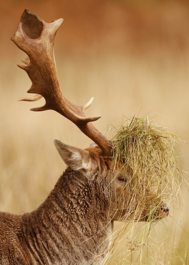 A deer buck displays his grass covered antlers at the National Trust's Dunham Massey park. Bucks rub their antlers in long grass during the rutting season and is a sign of Autumn in Knutsford, England. As summer draws to a close the cooler temperatures bring on the Autumn foliage colors. (Christopher Furlong/Getty Images)
