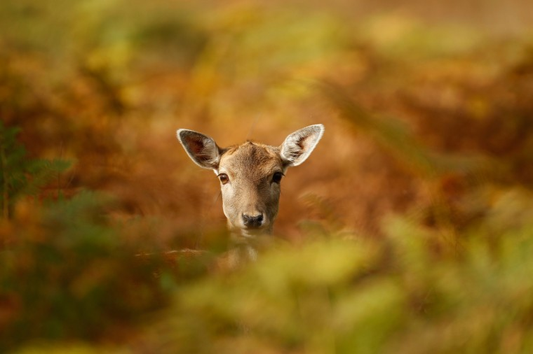 A young deer hides amongst the autumnal bracken at the National Trust's Dunham Massey park in Knutsford, England. As summer draws to a close the cooler temperatures bring on the Autumn foliage colors. (Christopher Furlong/Getty Images)