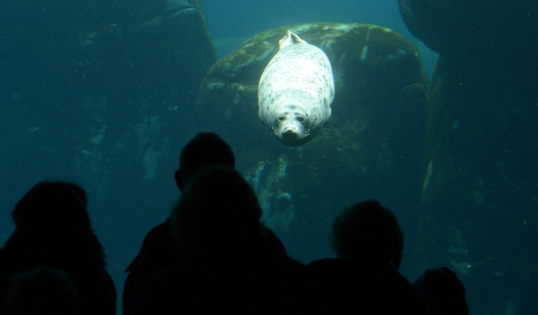 People watch a sea lion as it swims in the Eismeer at Hagenbeck Zoo in Hamburg, northern Germany. The new Eismeer (polar sea) has been open for 100 days at the zoo. (Marcus Brandt/GettyImages)