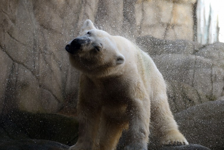 A polar bear shakes water out of its fur at Hagenbeck Zoo in Hamburg, northern Germany. The new Eismeer (polar sea) has been open for 100 days at the zoo. (Marcus Brandt/GettyImages)