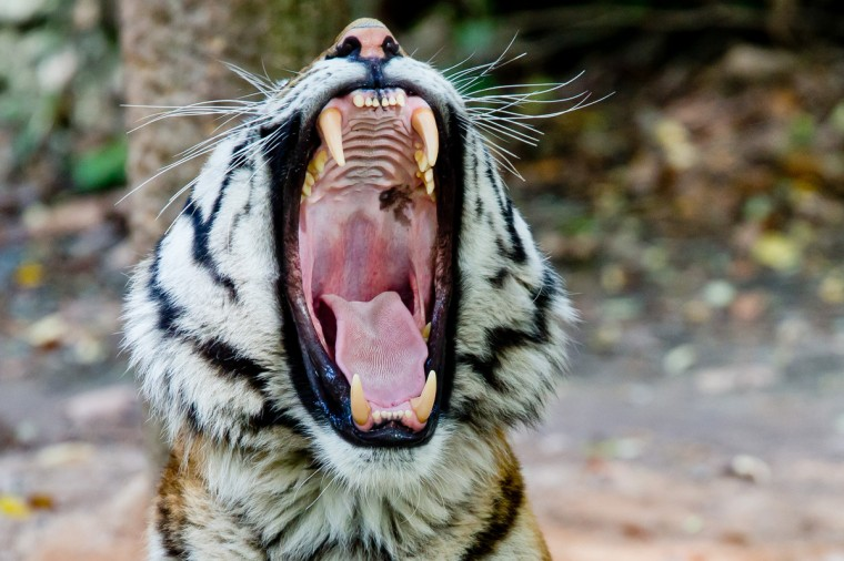 Claudius, the Siberian tiger, yawns in his enclosure in Nuremberg, southern Germany. Its brother died yesterday. The cause is unknown. (Daniel Karmann/Getty Images)