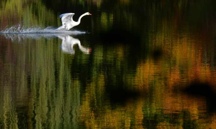 A swan lands on a lake in Berlin. Meteorologists forecast warm and sunny weather for the following days in the German capital. (Johannes Eisele/Getty Images)