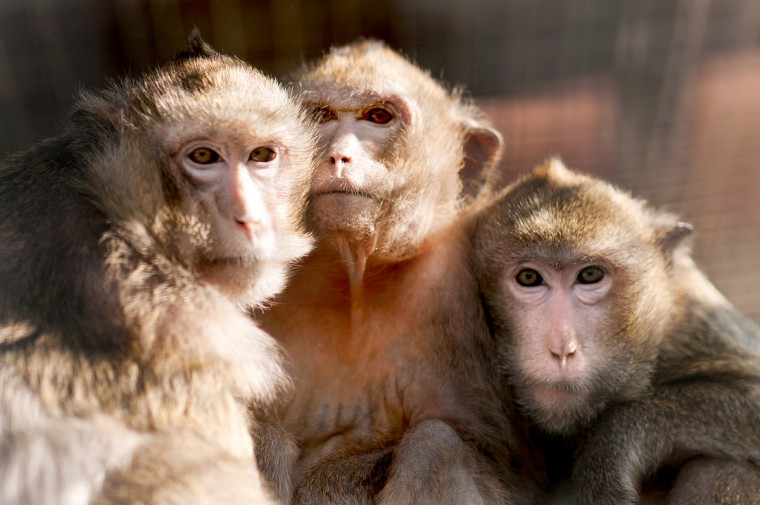 "Crab-eating macaques photographed in the Netherlands in 2012. Eighteen female monkeys used in lab experiments in the Netherlands are to be flown Wednesday to Spain's Balearic islands to enjoy the ""exceptional"" fate of a leisurely retirement in the sun. (Petra Sonius/AFP/Getty Images)"