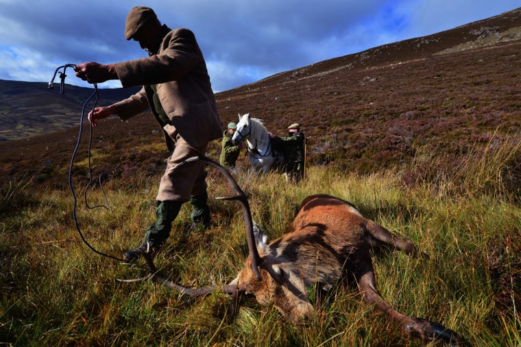 Head stalker Peter Fraser, prepares to load a freshly shot Stag onto a pony at Milstone Cairn in Glen Callater on the Invercauld Estate September 28, 2012 Braemar,Scotland. After forty five years as a professional stalker, Peter Fraser is working his last red dear stag season before his retirement in November. (Jeff J Mitchell/Getty Images)