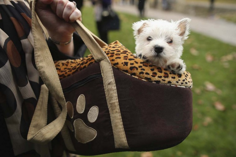 A dog sits in a womans handbag during the Westminster Dog of The Year competition in Victoria Tower Gardens in London, England. The annual competition was won by Charlie Elphicke, Conservative MP for Dover and Deal with his Norfolk Terrier Star, who was among the 24 dogs entered into the competition which is run by Dog's Trust and the Kennel Club. (Dan Kitwood/Getty Images)