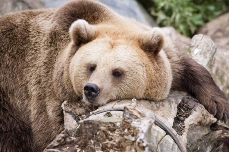 A brown bear takes a nap during the World Animal Day at Korkeasaari Zoo in Helsinki, Finland. (Jarno Mela/Getty Images)