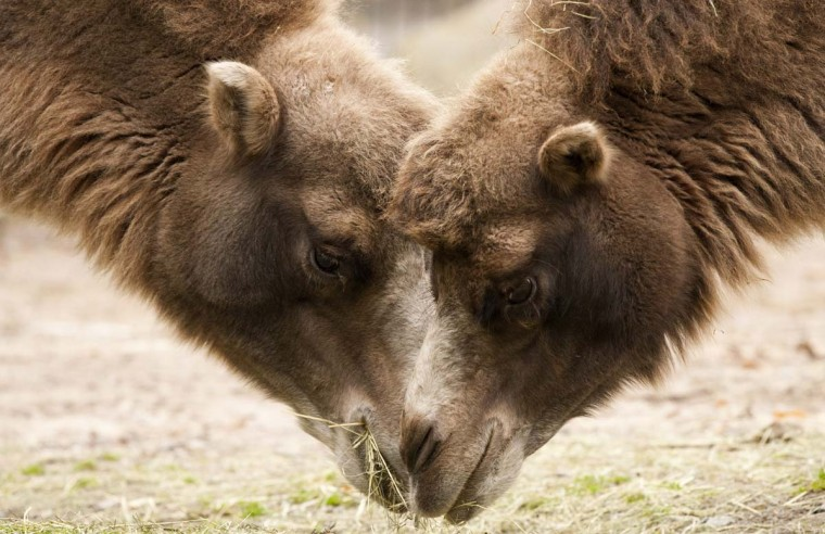 Camels graze in their enclosure at Korkeasaari Zoo in Helsinki, Finland on October 4, 2012. October 4th is the World Animal Day.(Jarno Mela/Getty Images)