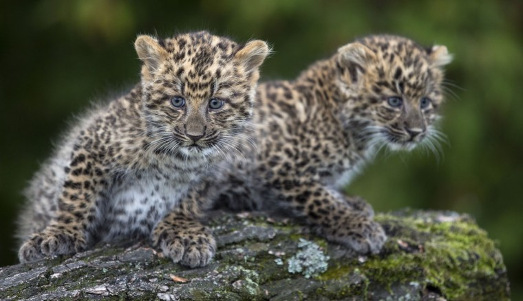 The two female leopard cubs Mor and May explore their enclosure in the zoo in Berlin. They were born eight weeks ago and weigh about 2,5 kg (Mor) and 3 kg (May). (Hannible HanschkeAFP/Getty Images)