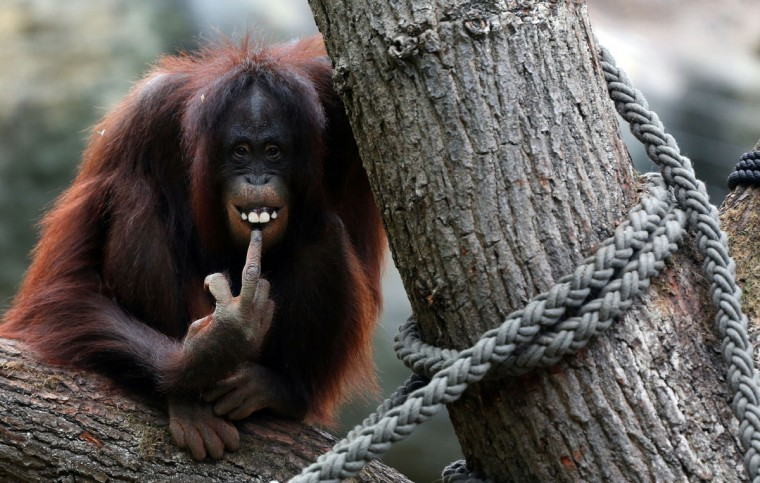 A female orangutan sits on a tire in her enclosure a the zoo in the northern German city of Rostock. (Jens Buttner/AFP/Getty Images)
