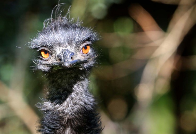 An Emu bird is pictured in its outdoor enclosure in the Duisburg zoo, northwestern Germany. Emus are the second largest member of the ratite group of flightless birds. They are native to Australia and are its national bird. (Roland Weihrauch/AFP/Getty Images)