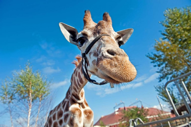 A Giraffe is photographed in front of a blue sky at the Berolina Circus in Berlin. (Robert Schlesinger/AFP/Getty Images)