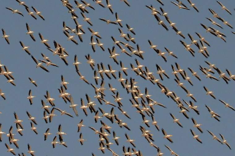 Migratory pelicans fly over the Lakhpat Fort area at Lakhpat, some 600 kms from Ahmedabad, on October 15, 2012. India's Gujarat state is known as a bird lovers' paradise and is a haven for migratory birds. (Sam Panthaky/AFP/Getty Images)