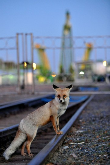 October 21, 2012: A fox crosses a railroad track before the Soyuz TMA-06M spaceship transportation at a launch pad (background) at the Russian leased Kazakh Baikonur cosmodrome. (Vyacheslav Oseledko/AFP/Getty Images)