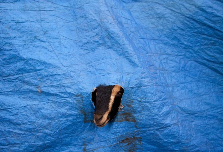 A goat looks through a hole on the side of a tent at an animal market in the Old Quarters of New Delhi on October 22, 2012, ahead of the Muslim feast of Eid al-Adha. Eid al-Adha (the Festival of Sacrifice) is celebrated throughout the Muslim world as a commemoration of Abraham's willingness to sacrifice his son for God, and cows, camels, goats and sheep are traditionally slaughtered on the holiest day. (Andrew Cabellero-Reynolds/AFP/Getty Images)